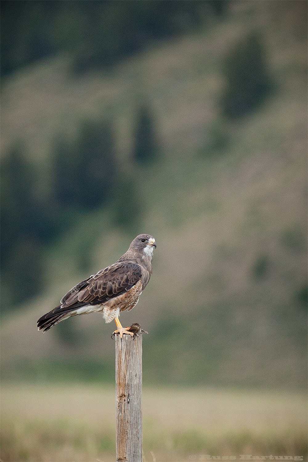 Hawk with freshly caught field mouse. Teton National Park - Jackson, Wyoming.