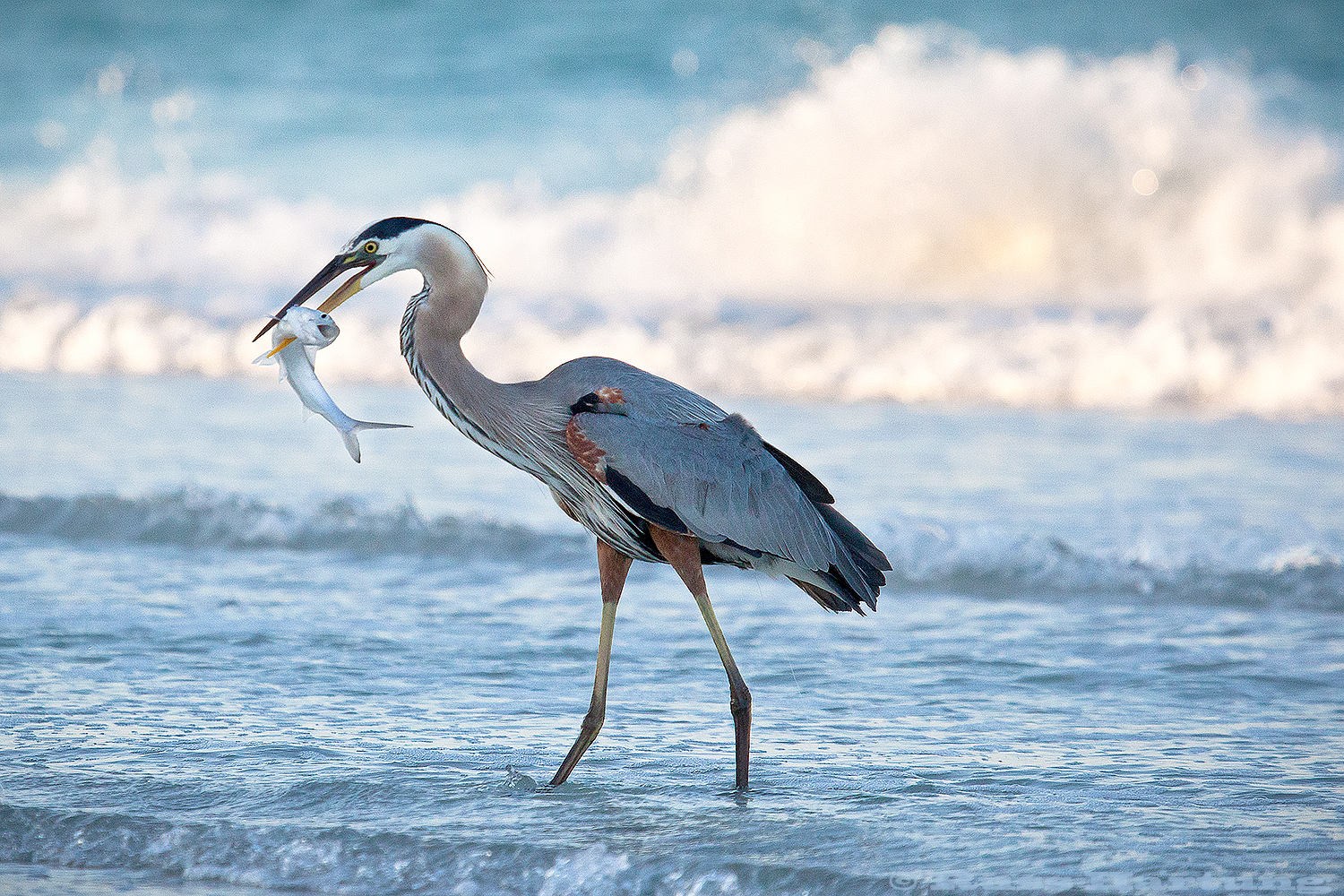 Great Blue Heron with a fish that's not too happy about being his breakfast. Anna Maria Island, Florida.