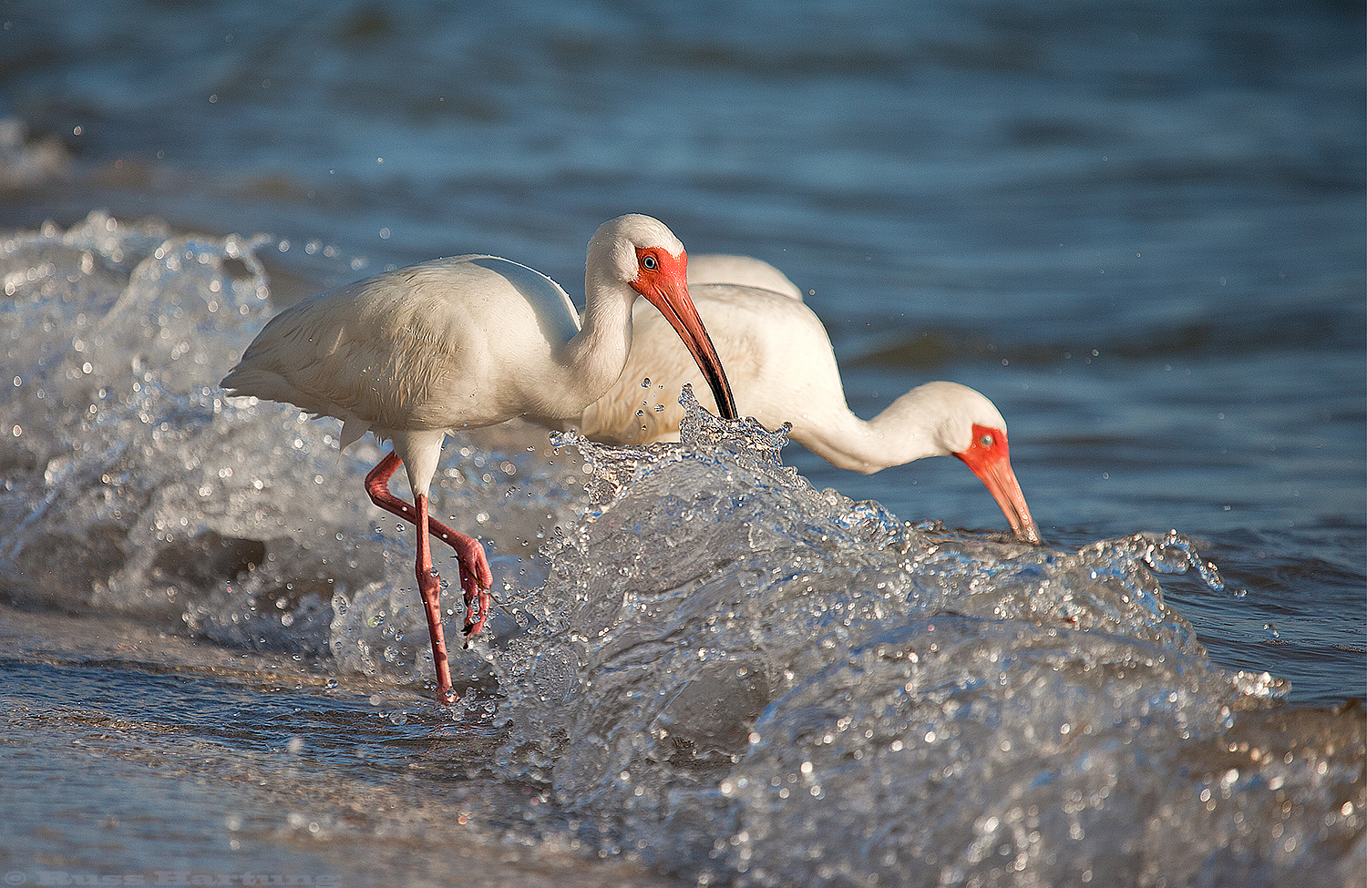 Ibis feeding in the surf. Anna Maria Island, Florida.