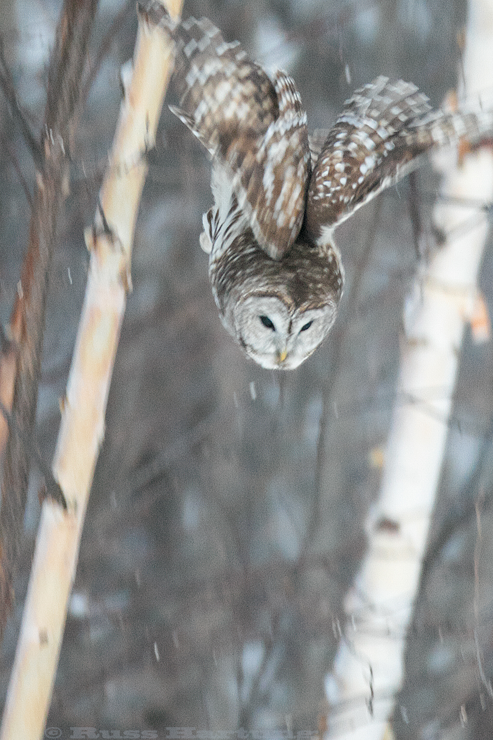 Barred Owl diving for dinner. He missed.