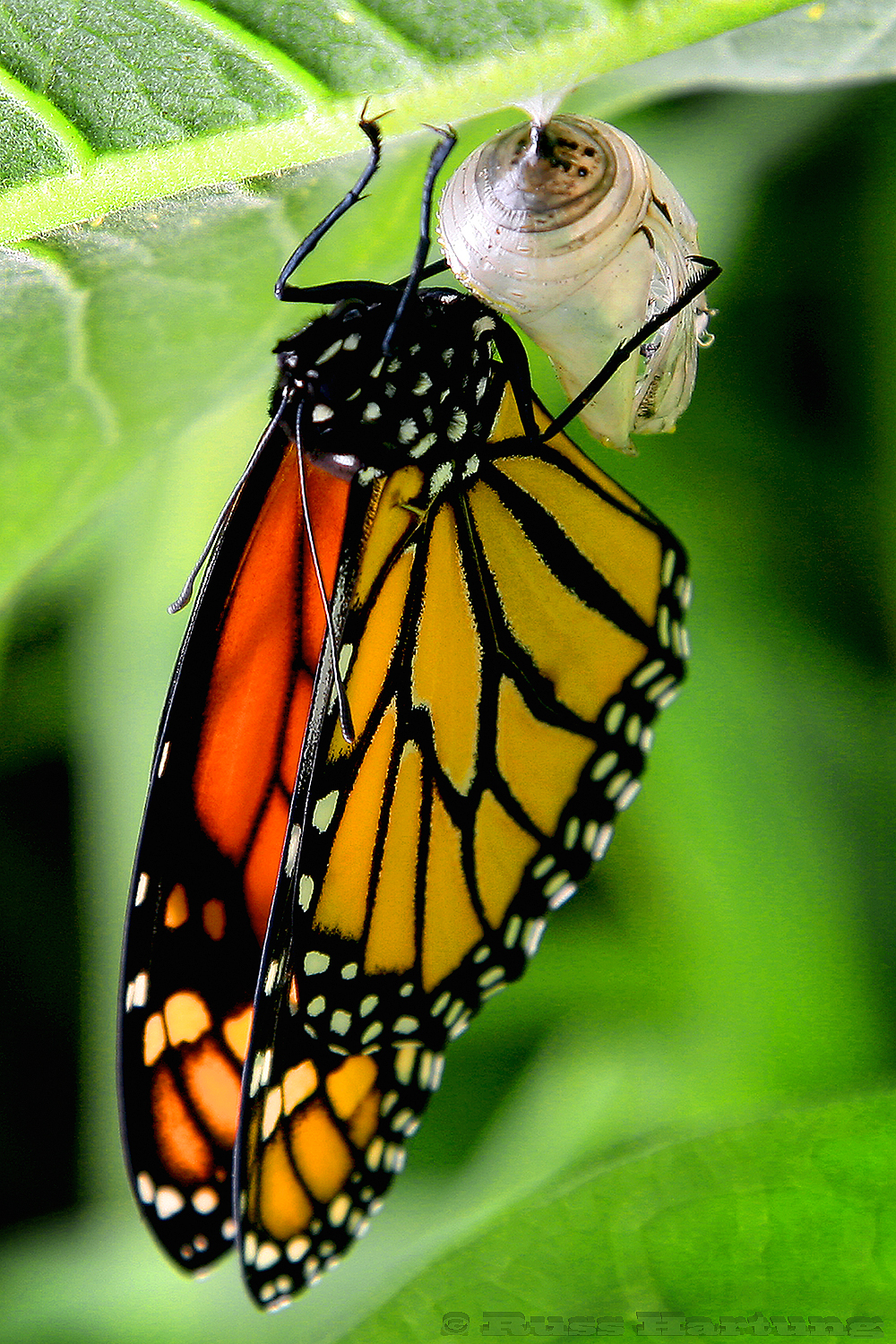 Monarch Butterfly minutes after emerging from a chrysalis.