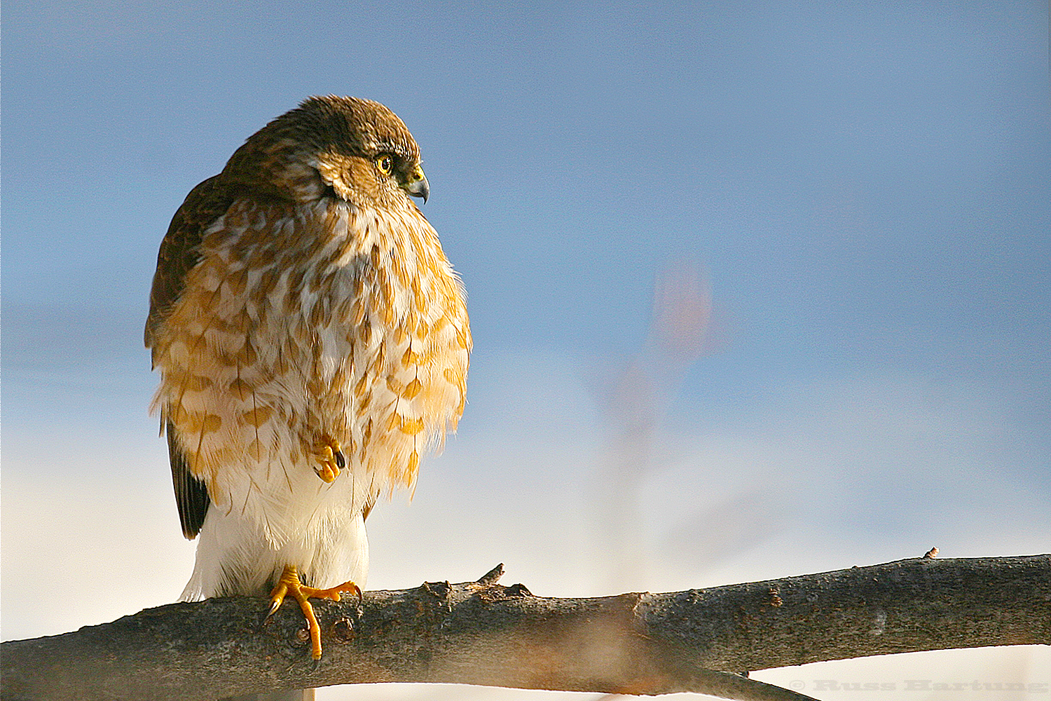 Sharp-shinned hawk waiting near the bird feeders.