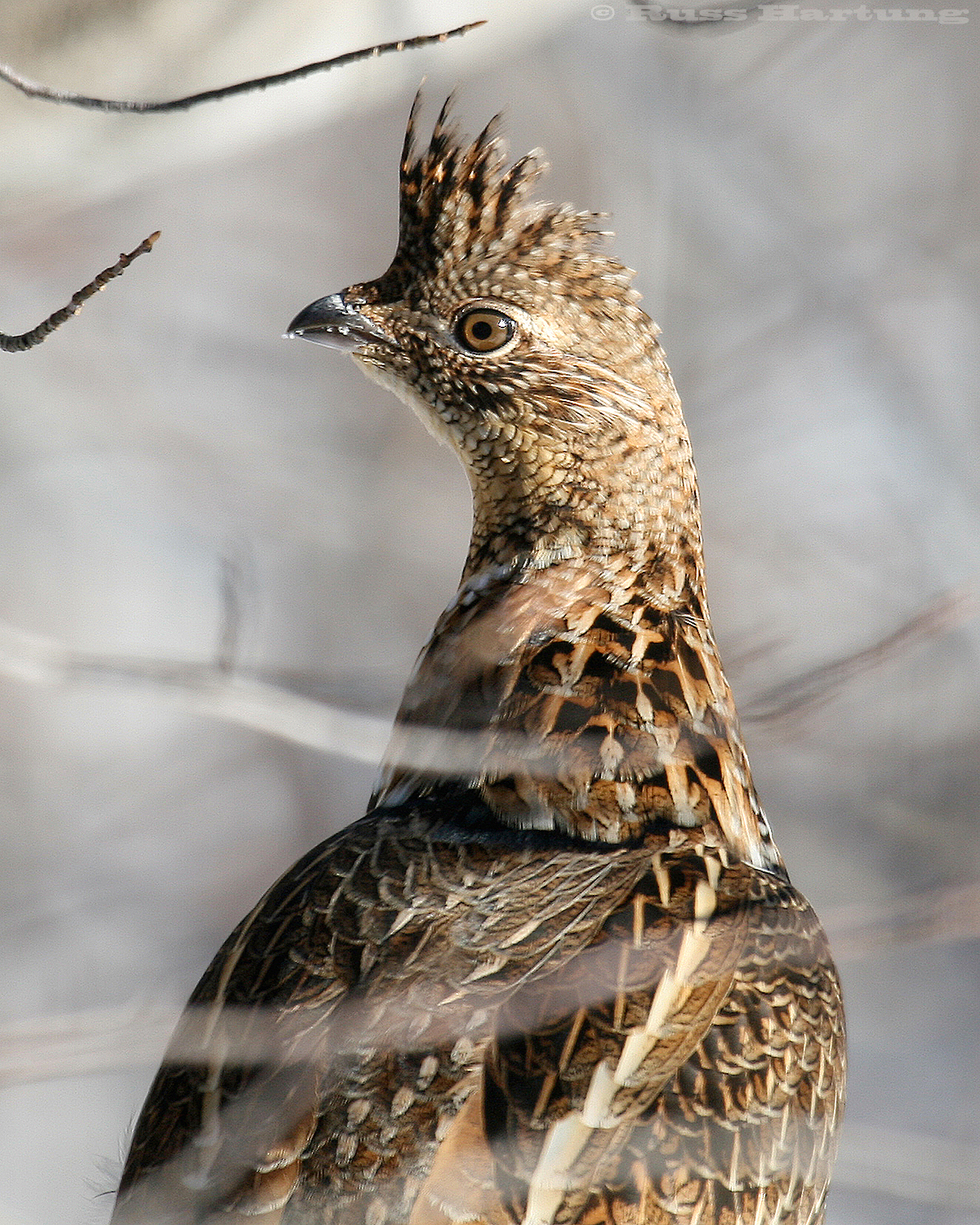 Ruffed Grouse outside my window.