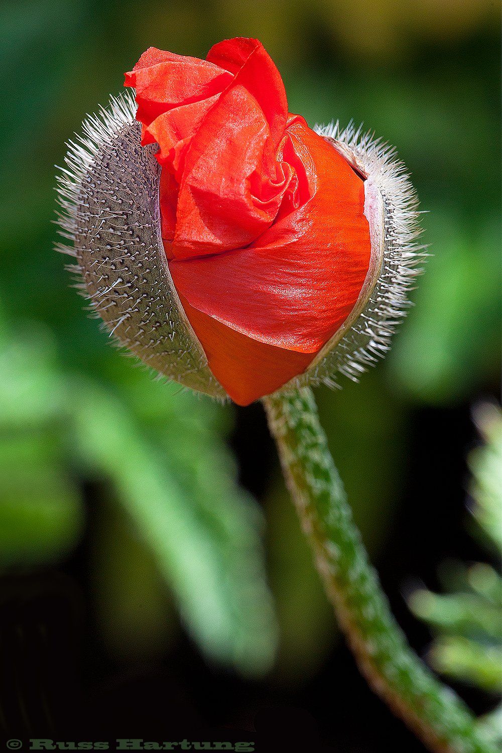 Poppy blossom just breaking out of it's bud.