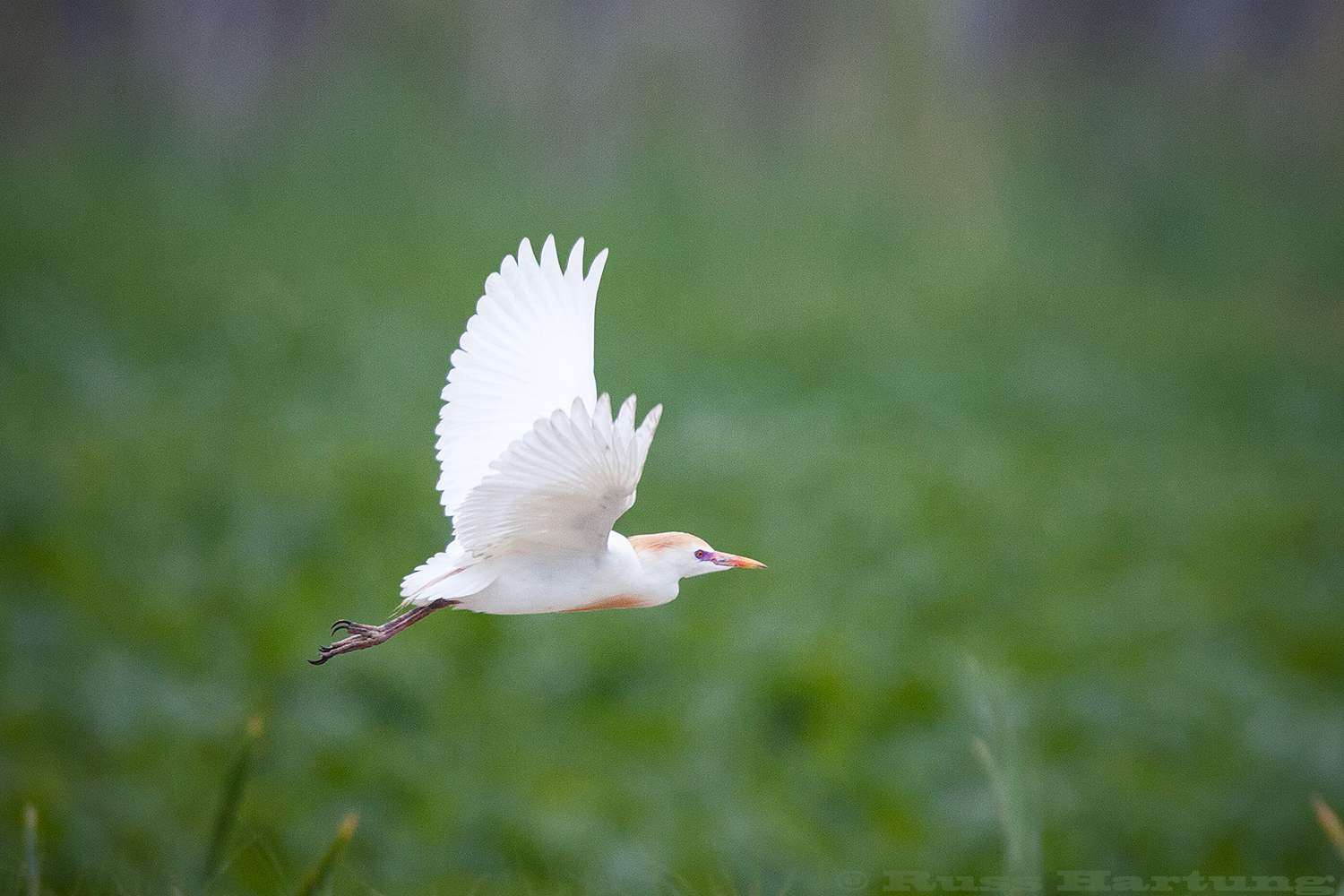 Cattle Egret in flight. Orlando Wetlands Park, Florida.