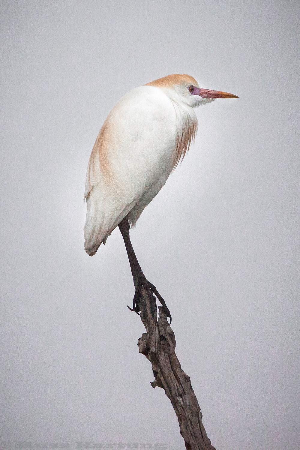 Cattle Egret perched on a foggy morning. Orlando Wetlands Park, Florida.