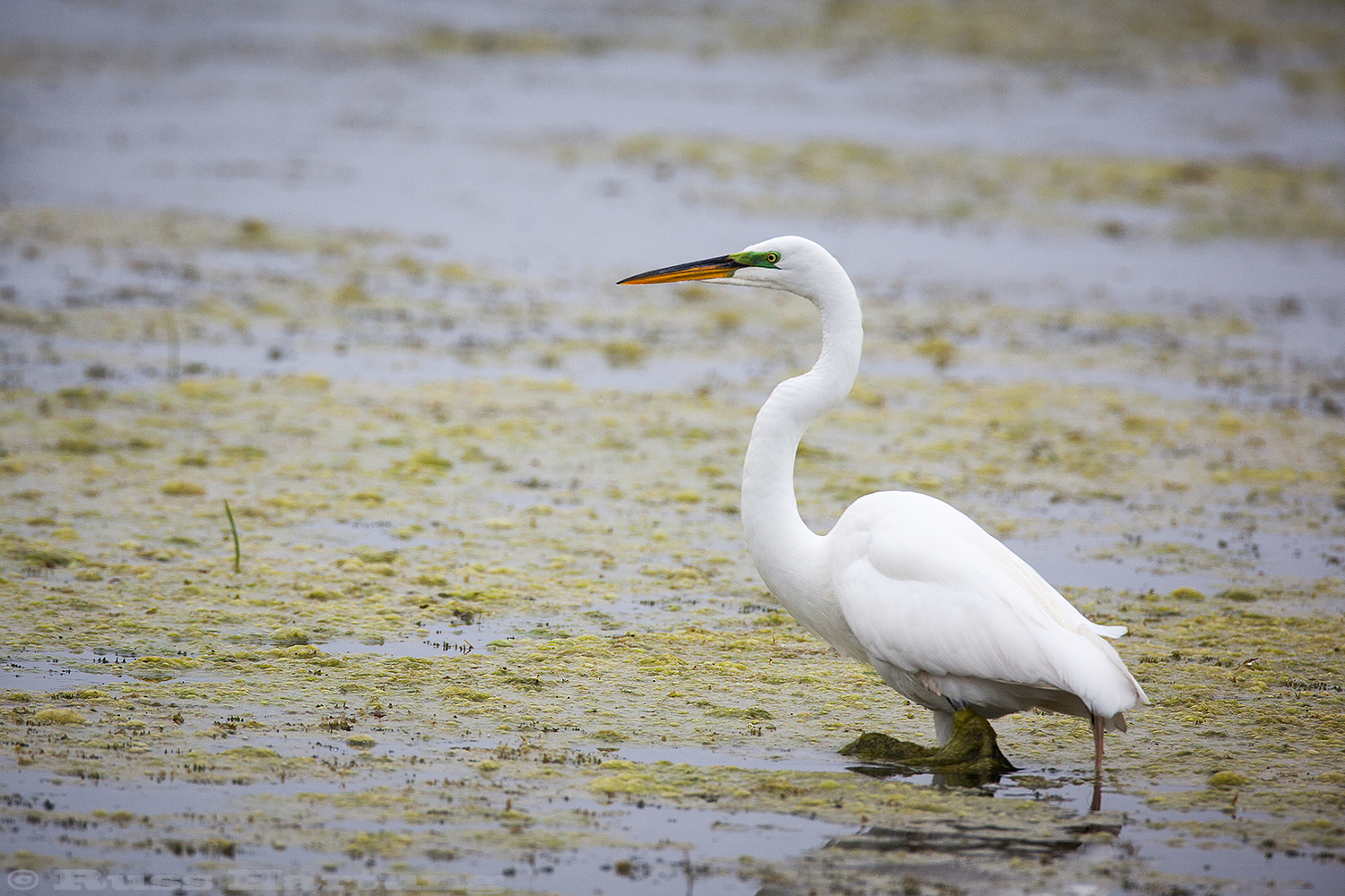 Great Egret fishing. Orlando Wetlands Park, Florida.