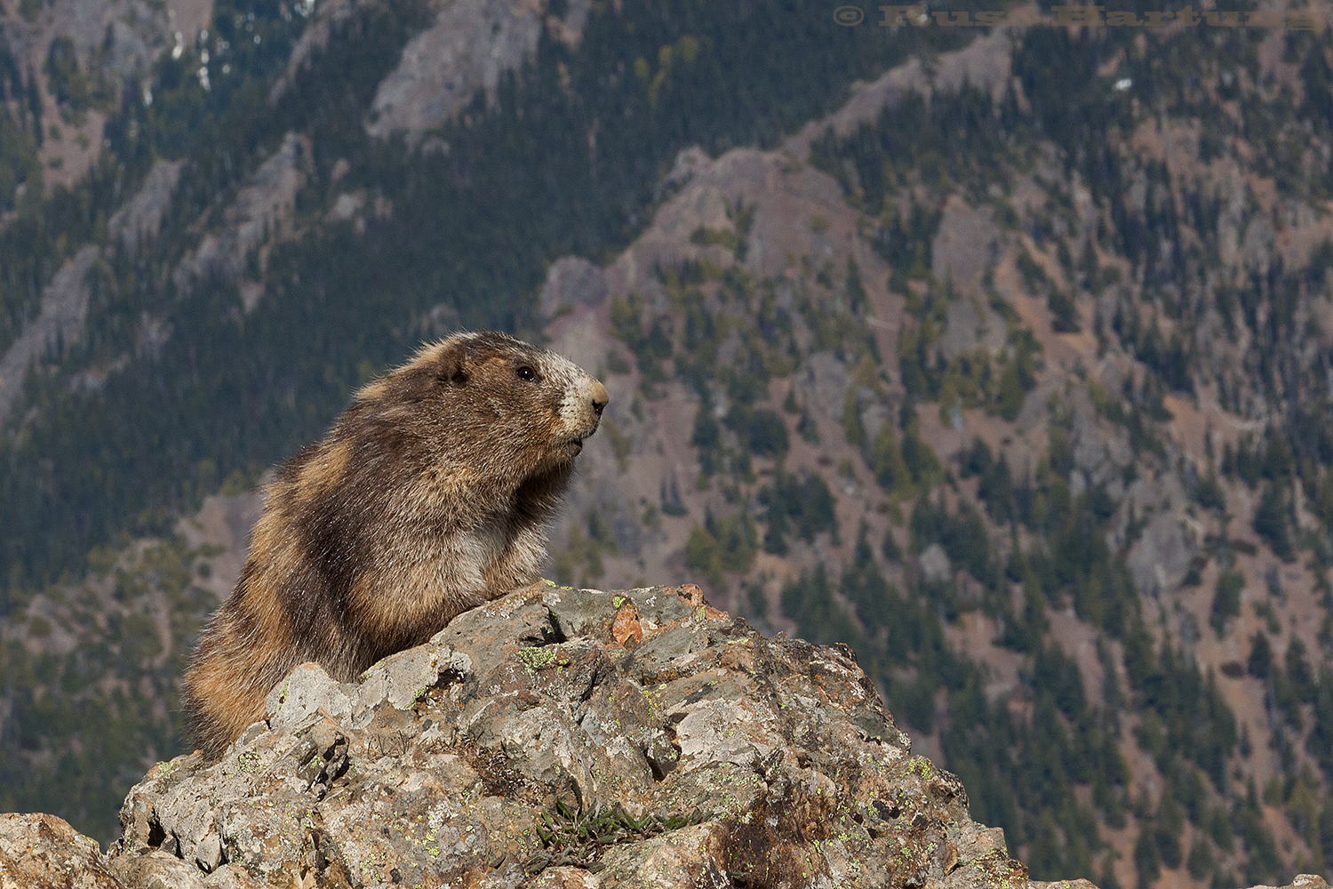 Marmot. Hurricane Ridge - Olympic National Park, Washington.