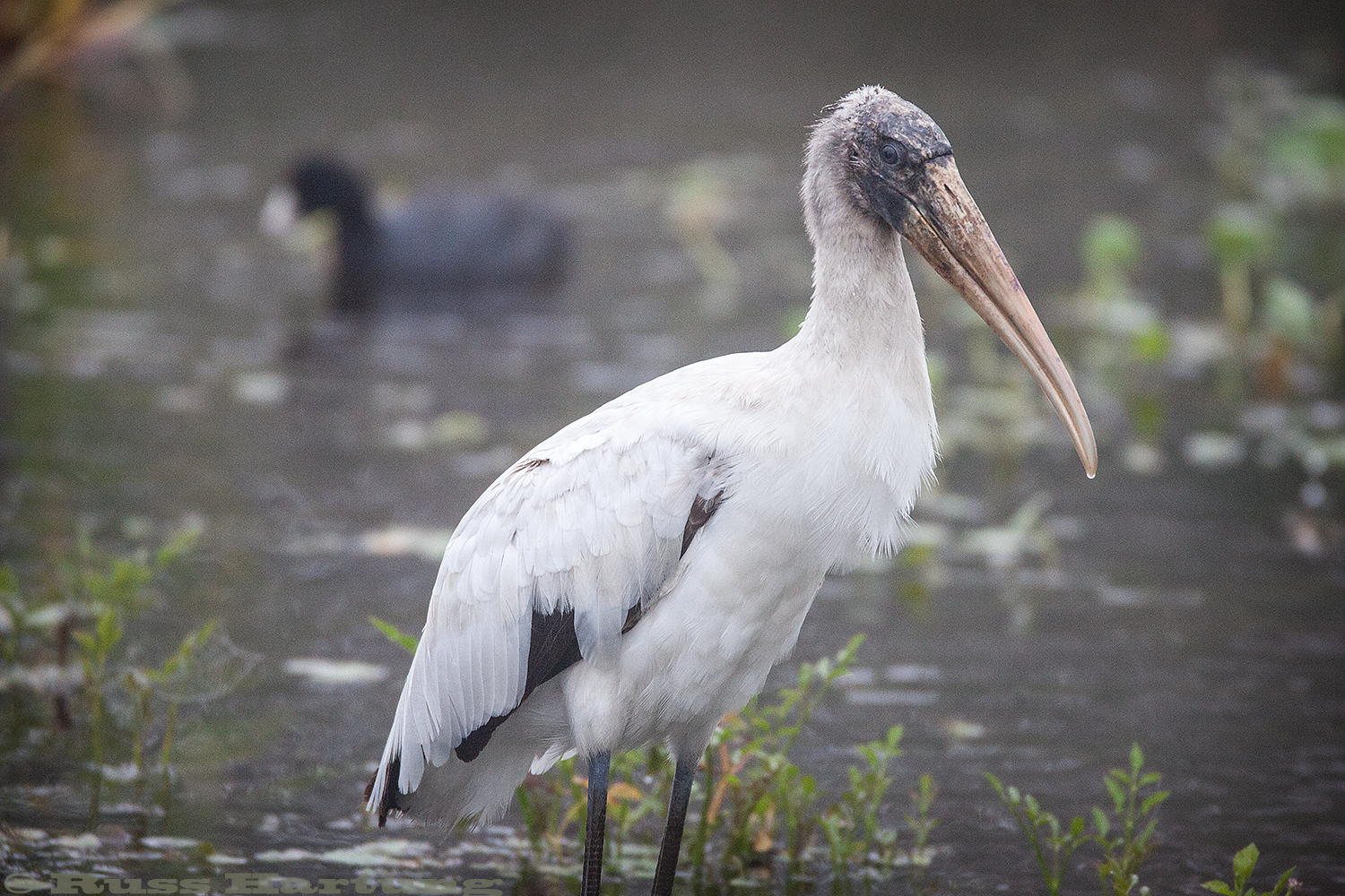 Wood Stork - Orlando Wetlands Park, Florida.