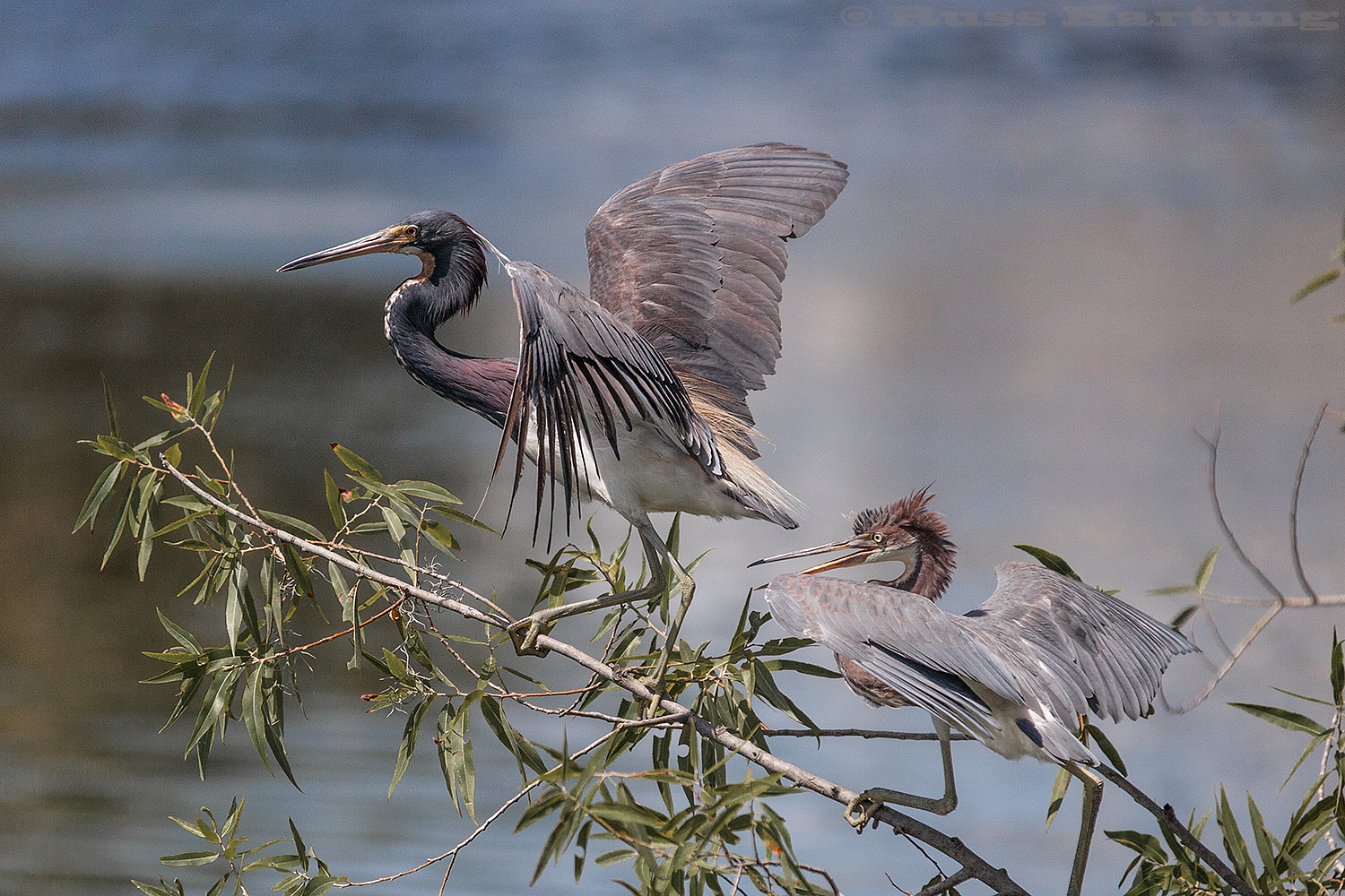 Two tricolored Heron's battling over a perch. Palmetto Bluff, South Carolina.