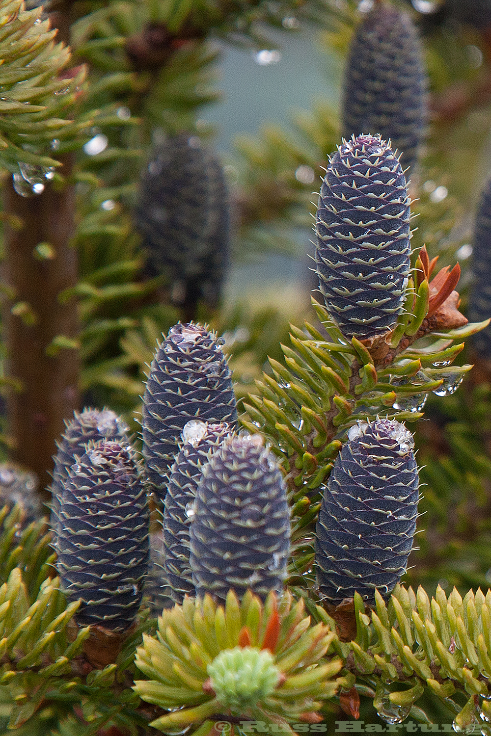 Pine cones on Mount Jo.