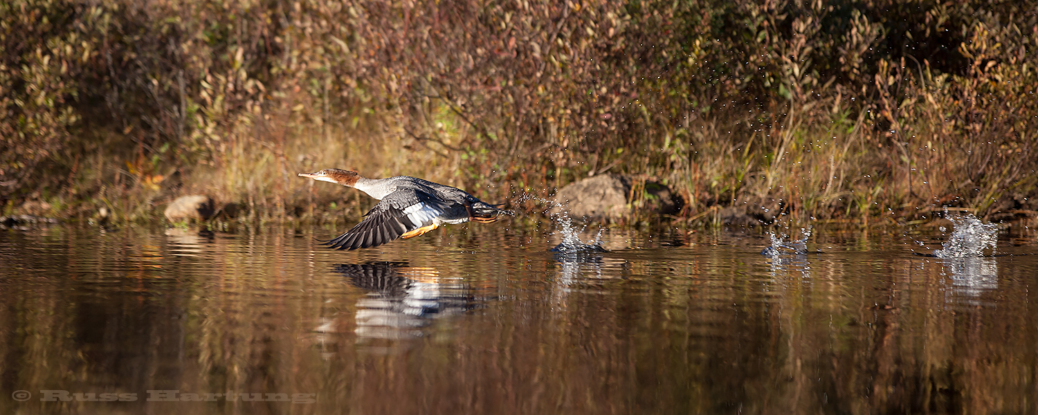Female common merganser taking off by first running across the water before getting airborne.