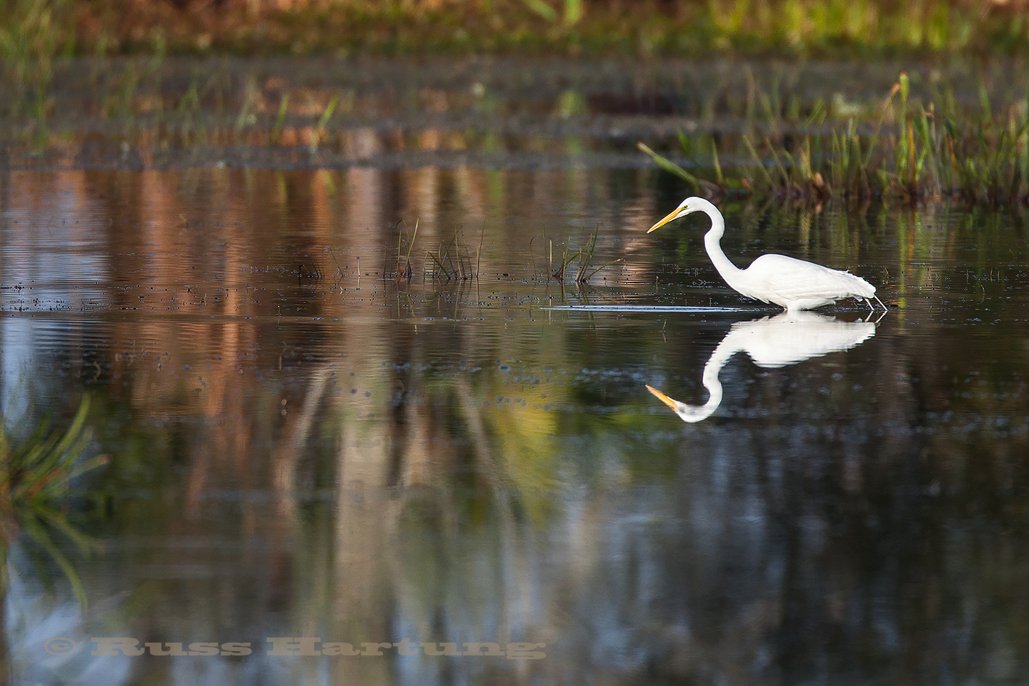 Egret fishing in the Orlando Wetlands park during spring migration.