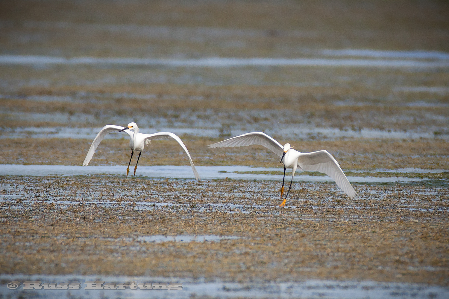 These two snowy egrets look like they're dancing as they look for fish.