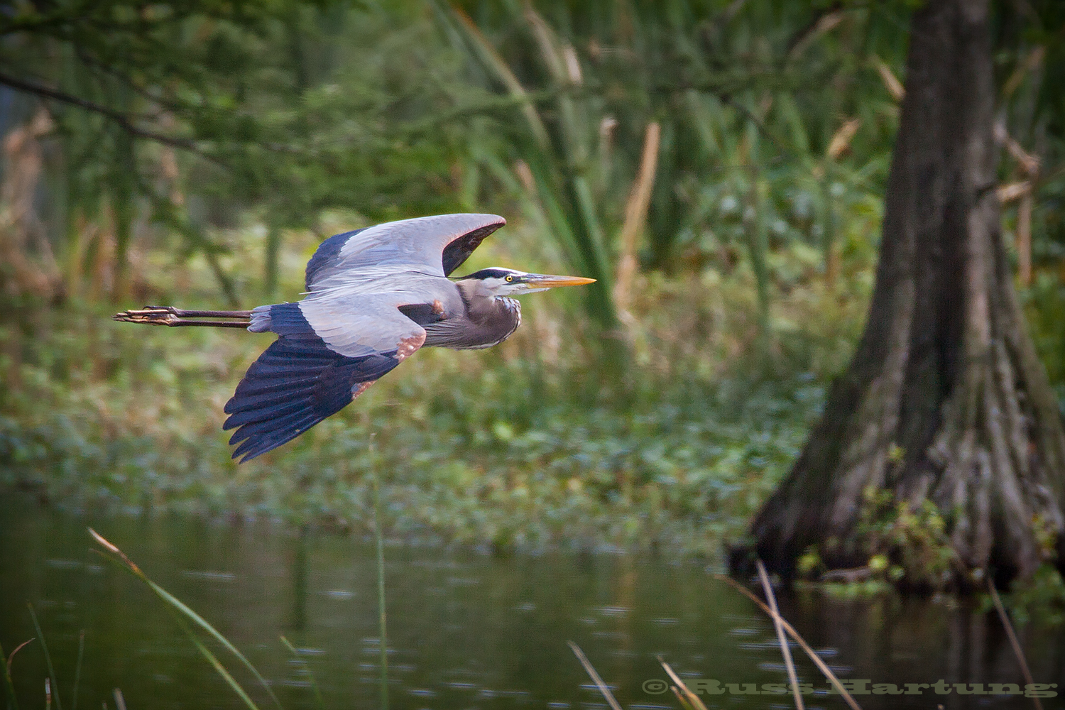 Great Blue Heron flying through the cypress swamps in the Orlando Wetlands Park during Spring migration.