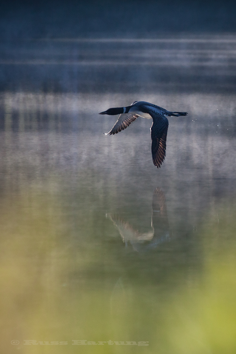 A loon flying low over a lake in the Adirondacks. The backlighting and still water create a great reflection.