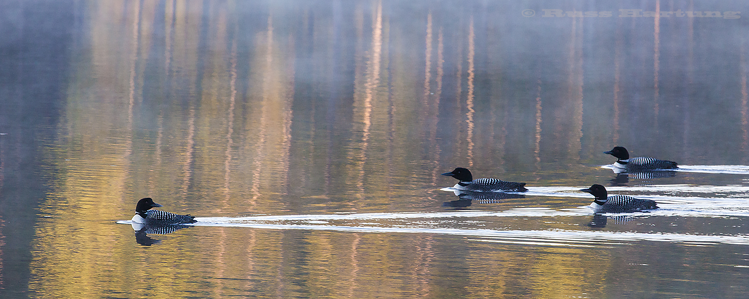 The lead loon (probably a parent) looks back to check on the rest of the family.