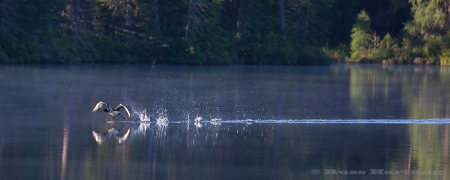 Loons run across the water for quite a ways before getting airborne. They are much more graceful underwater.