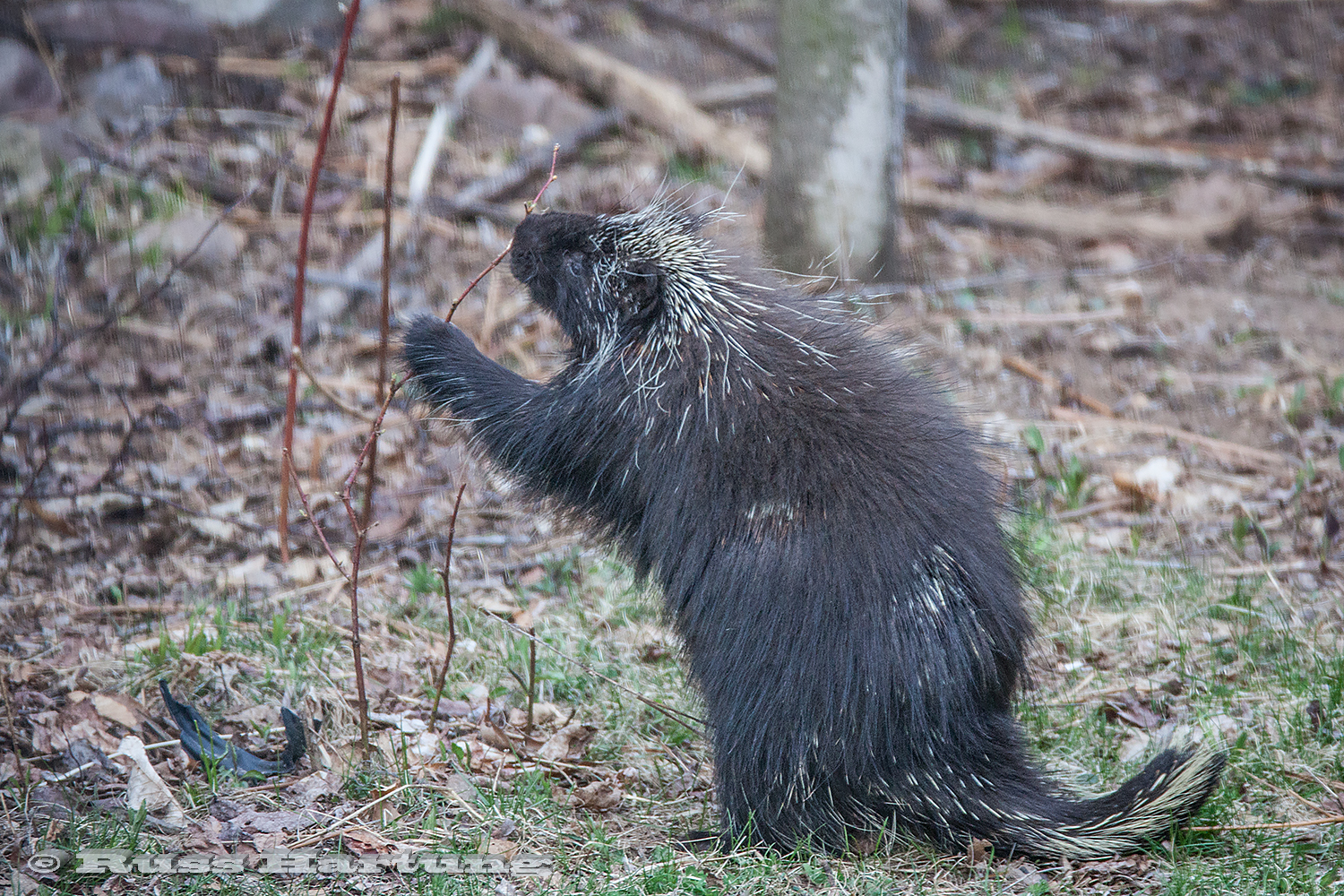 A porcupine eating buds off a sapling.