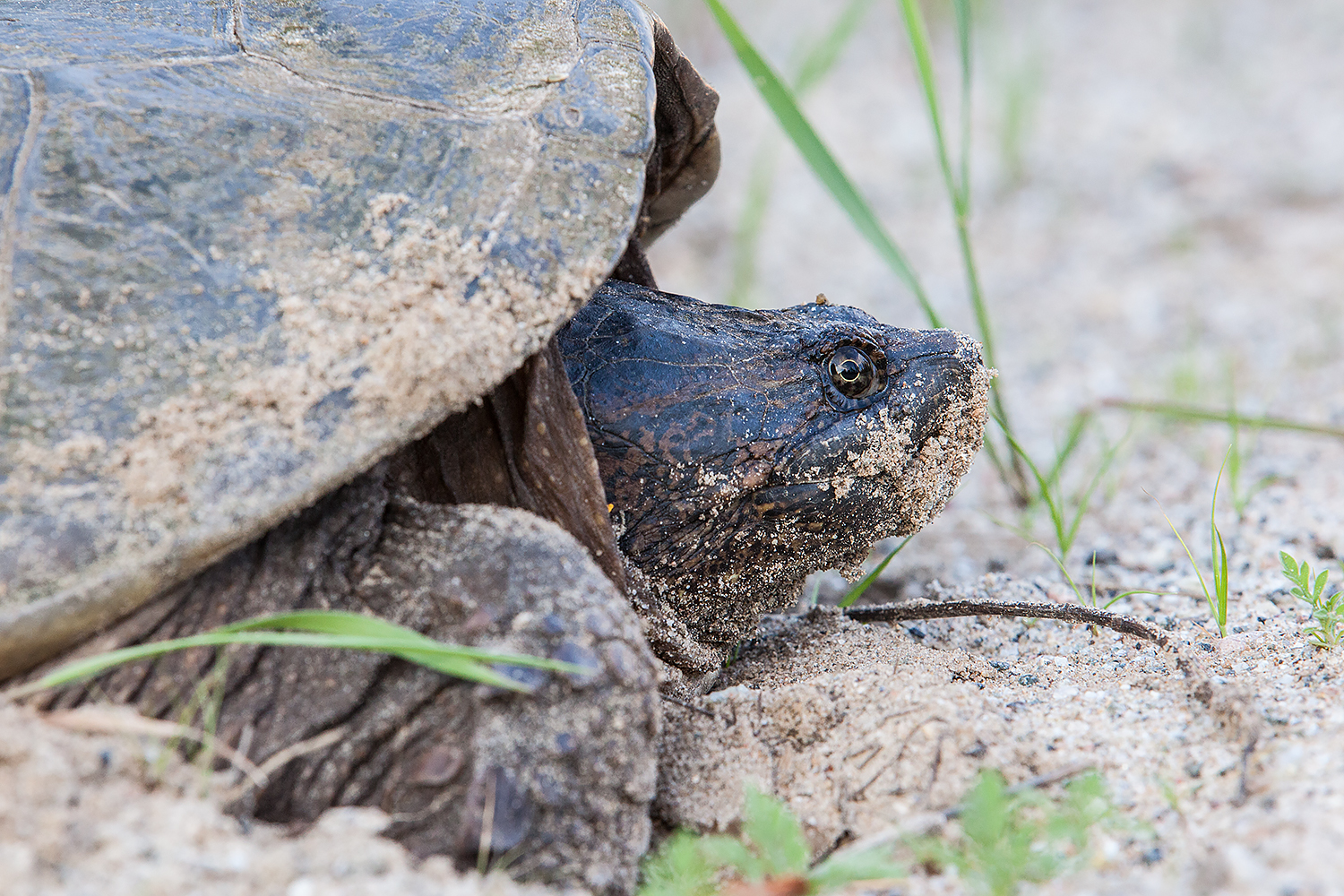 A snapping turtle gets ready to lay eggs in the sand in the Adirondacks.