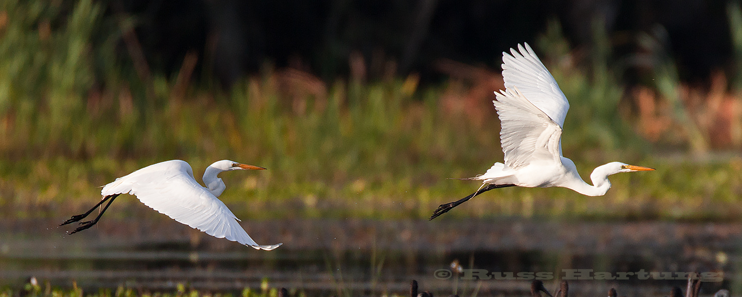 Two Great Egrets take flight in the Orlando Wetlands Park during Spring migration.