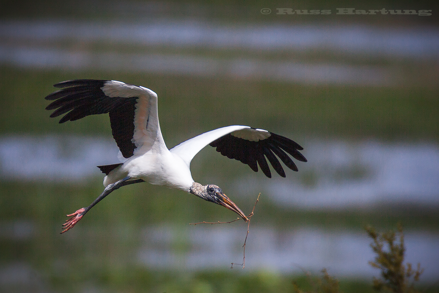 A Wood Stork bringing twigs back to finish construction of the nest in the Orlando Wetlands Park.