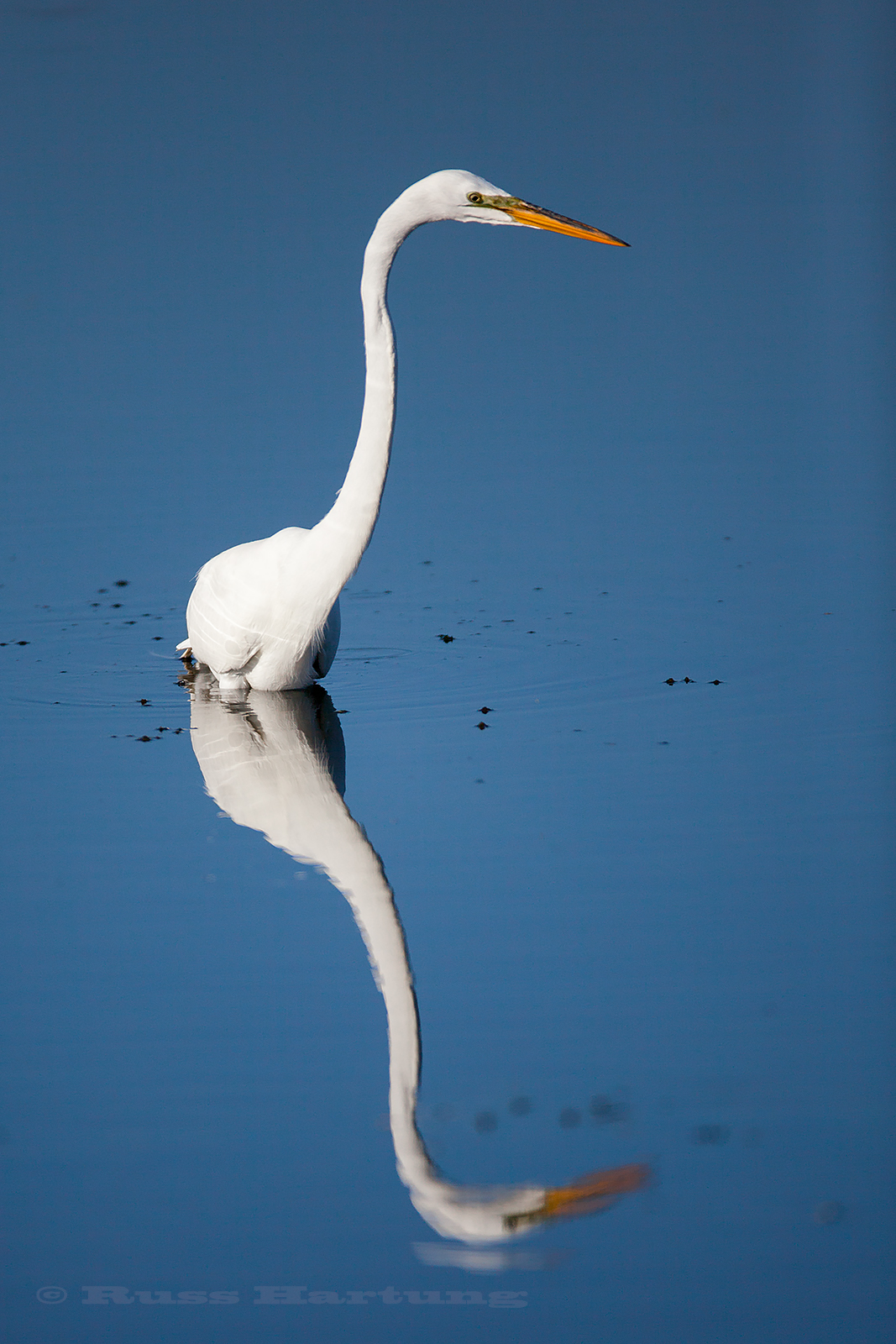 Great Egret fishing in the Orlando Wetlands Park, Florida during Spring migration.