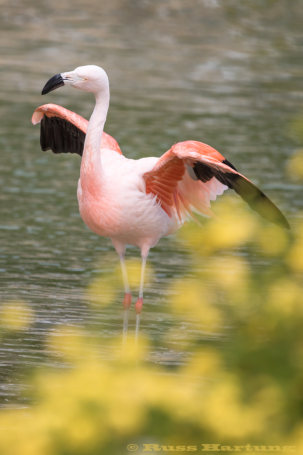 Flamingo stretching it's wings.