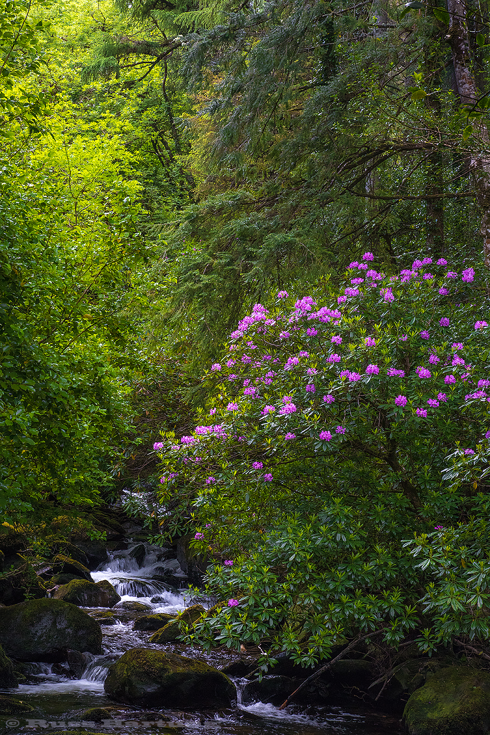 Giant rhododendron bushes in Killarney National Park, Ireland.