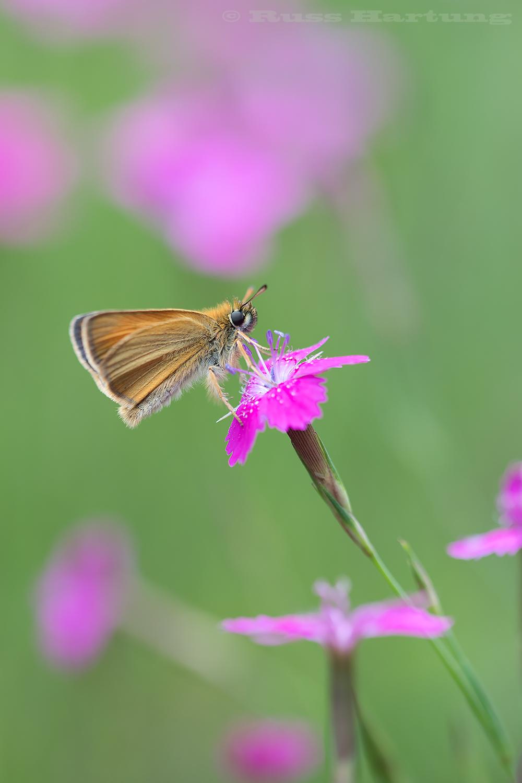 Moth in a field of wildflowers.