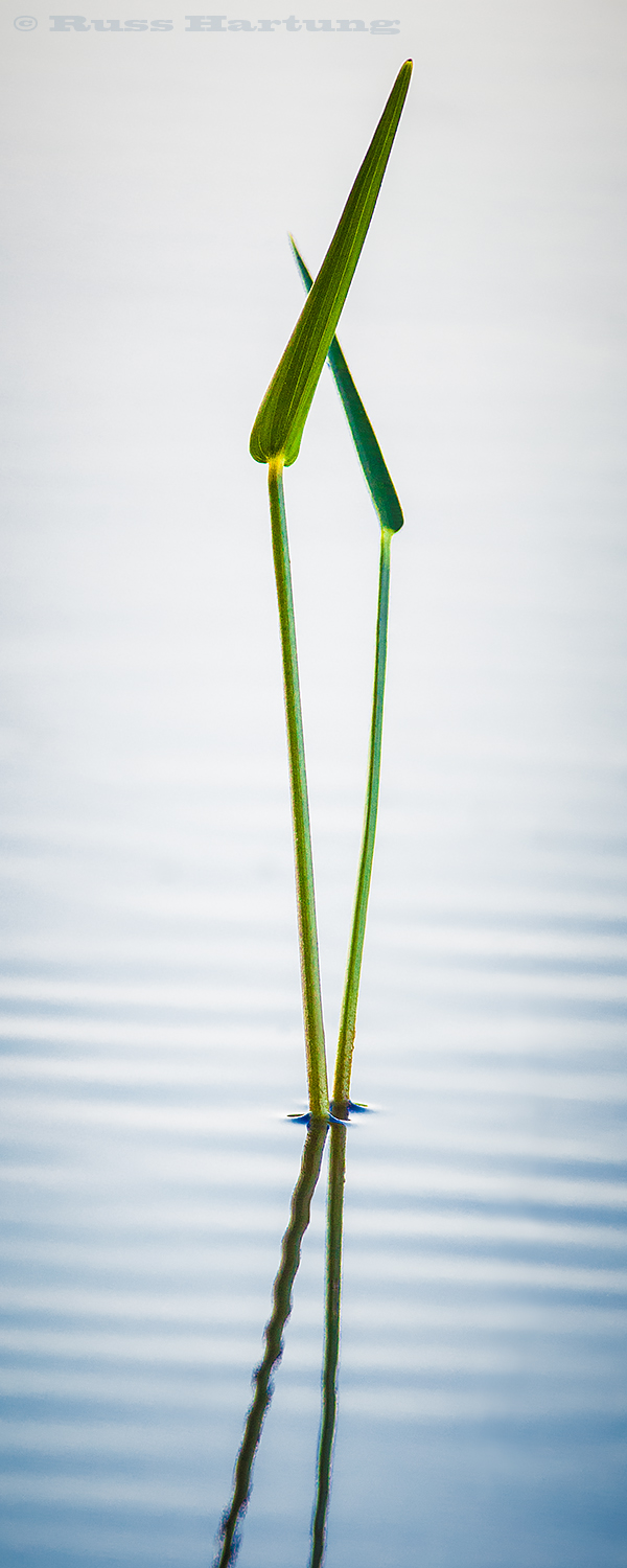 """Pas De Deux"" - Pickerel Weed grass in the shallows of an Adirondack lake. Juror's selection - Adirondack Artists's Guild Juried Art Show 2018"