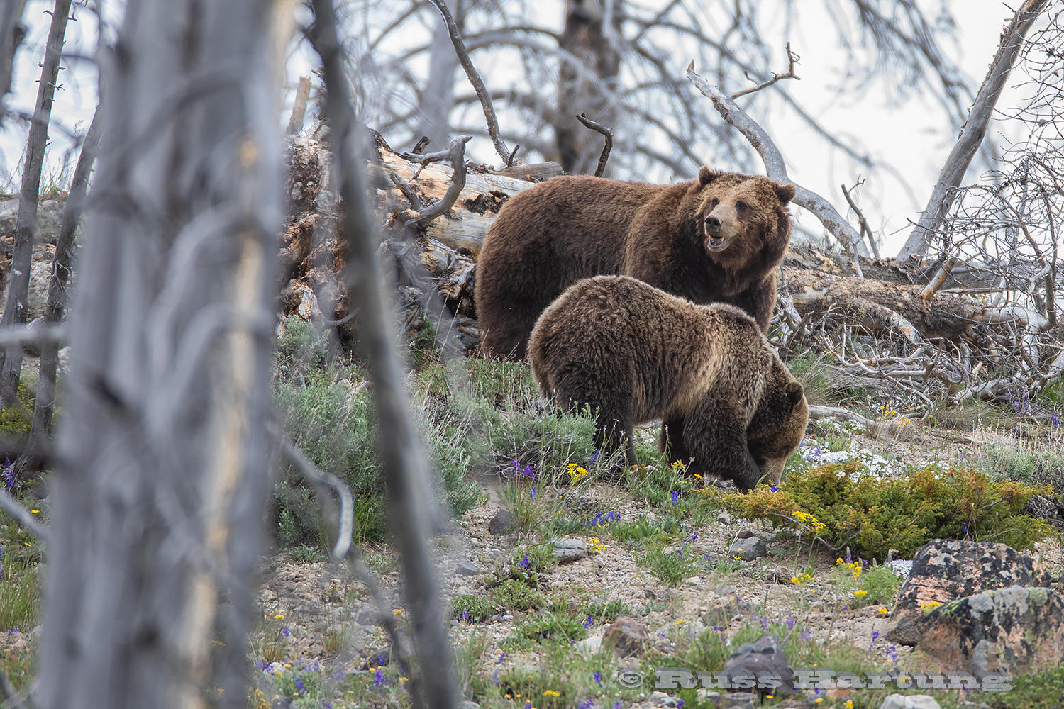 Momma grizzly and cub turning over rocks and logs, looking for bugs in Yellowstone National Park