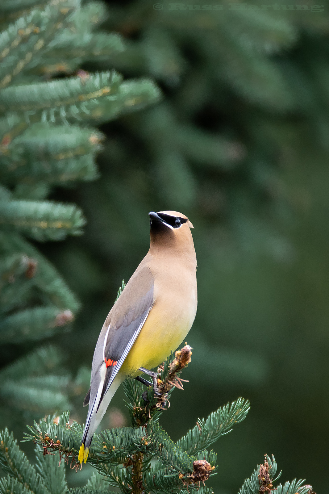 """Cedar Waxwing"" - Published in Adirondack Life Magazine, September/October issue 2019"