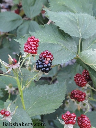 black rspberries ripening.jpg