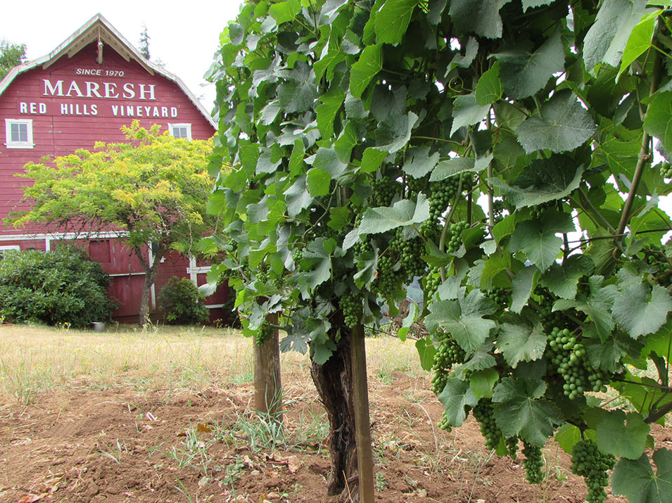 One of the Red Barn Blocks, Maresh Vineyard