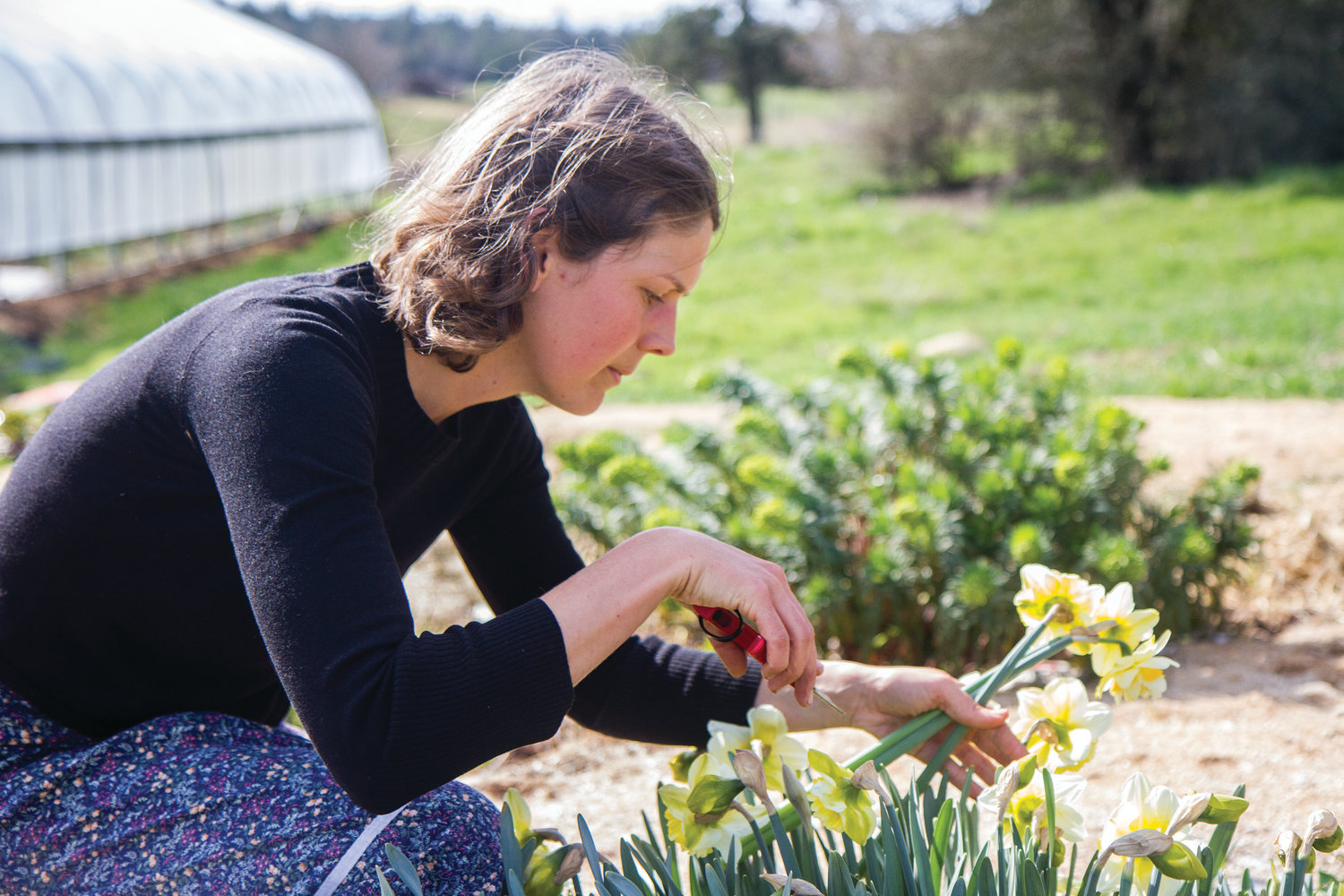Allred harvests daffodils to make a bouquet. She grows her flowers in beds and does not use herbicides or pesticides.   LEADER PHOTO BY LILY HAIGHT, Posted Wednesday, April 24, 2019 3:00 am