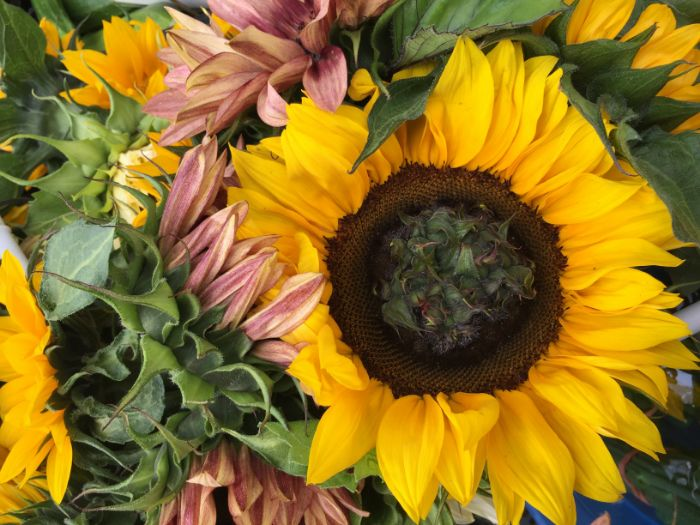 Sunflowers grown by Midori Farm.