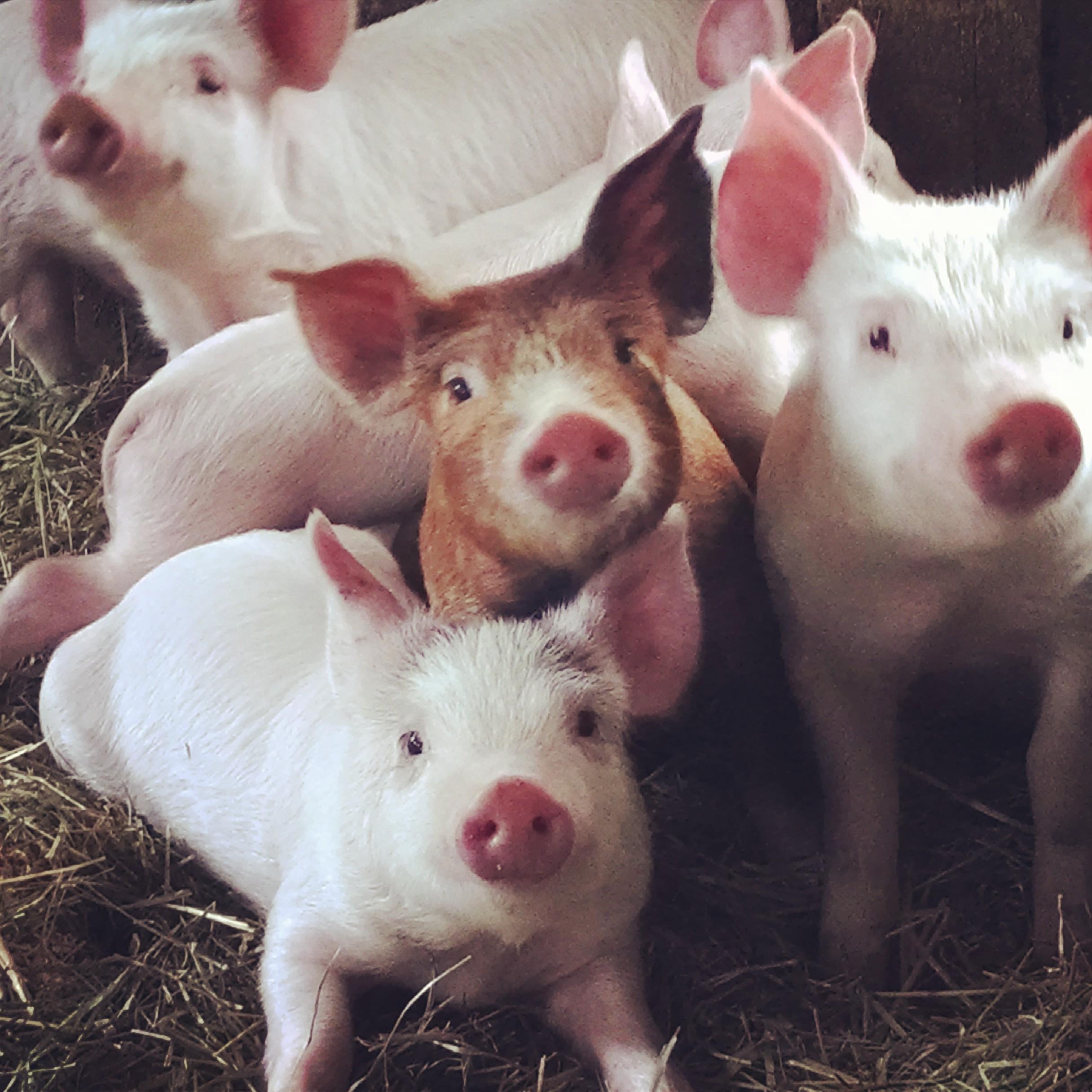 The Farm's Piglets