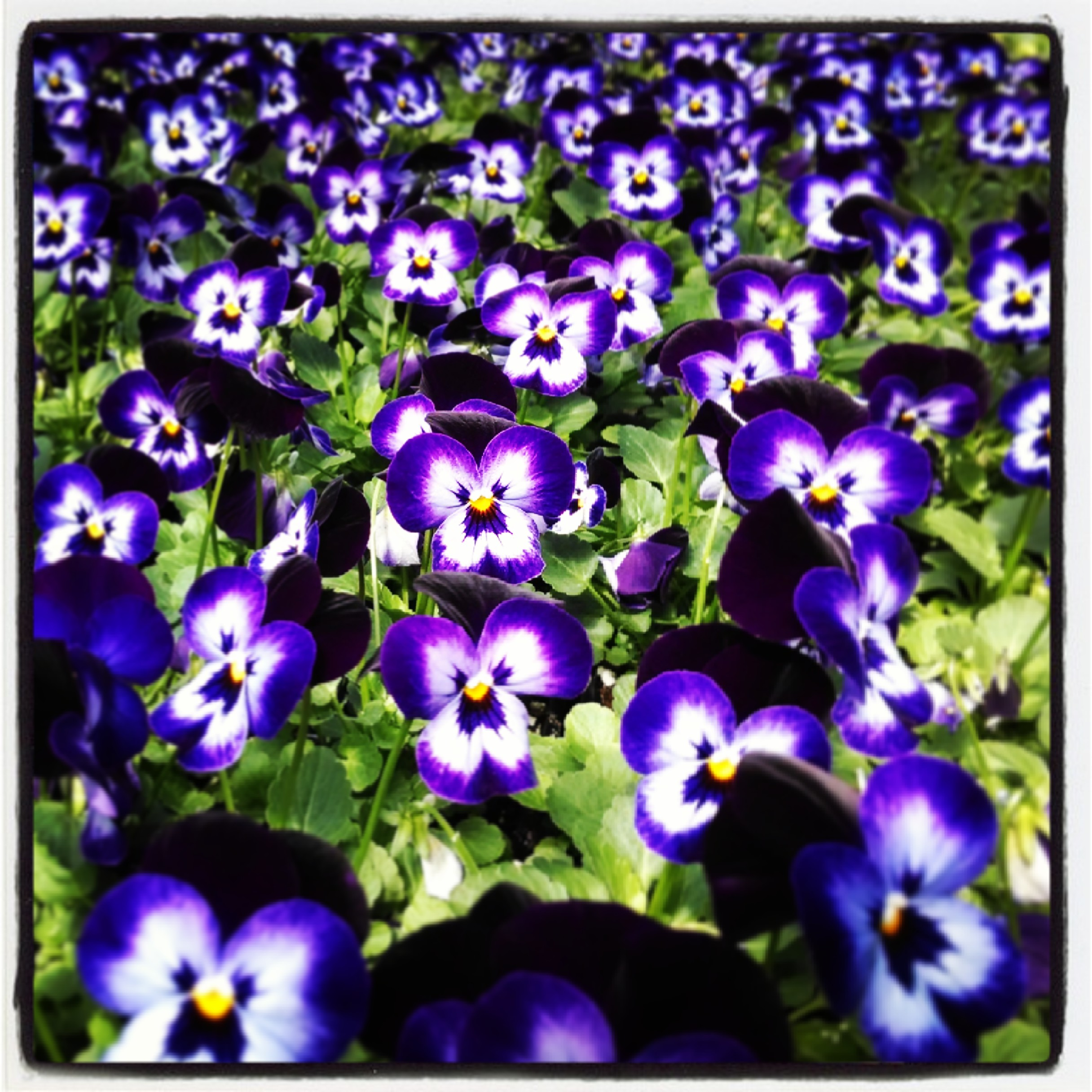 Our Early Season Pansies