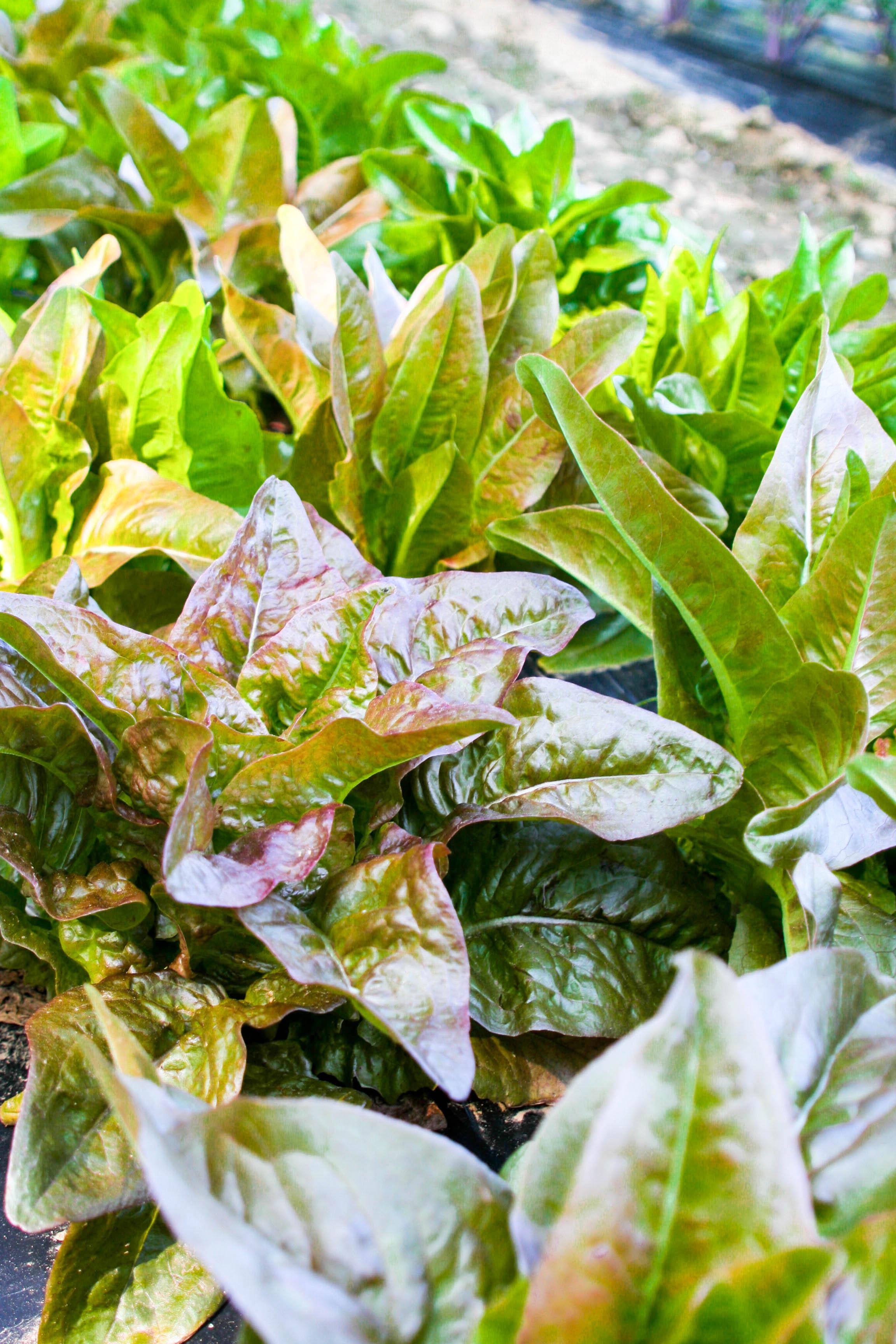 lettuce edited.jpg