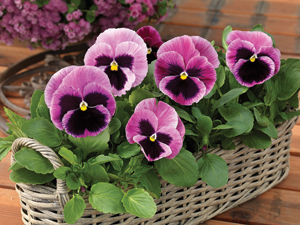 Mammoth Series Pansy