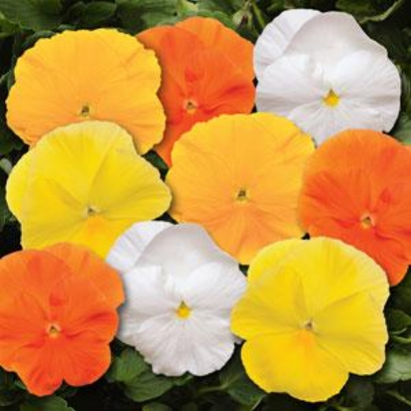 Spring Matrix Daffodil Mix