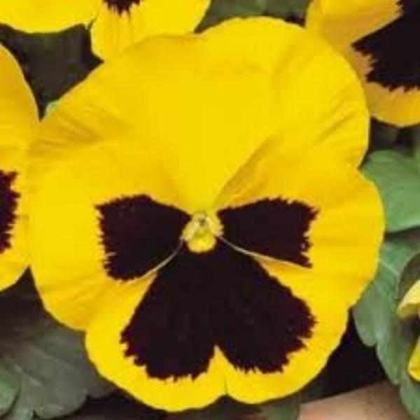 Spring Matrix Yellow Blotch