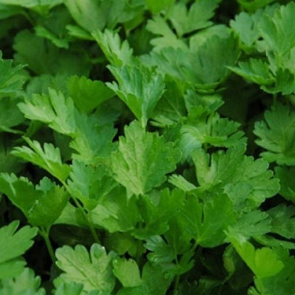 Parsley Italian Flat Leaf