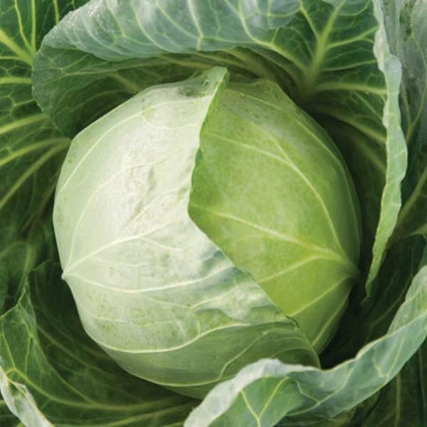 Cabbage Primo Vantage