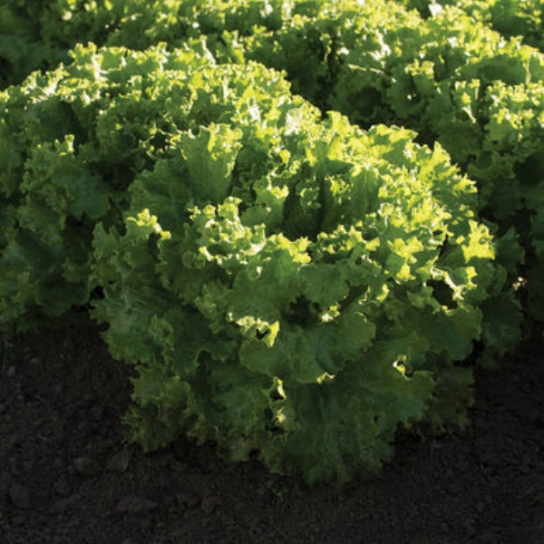 Lettuce Bergam's Green