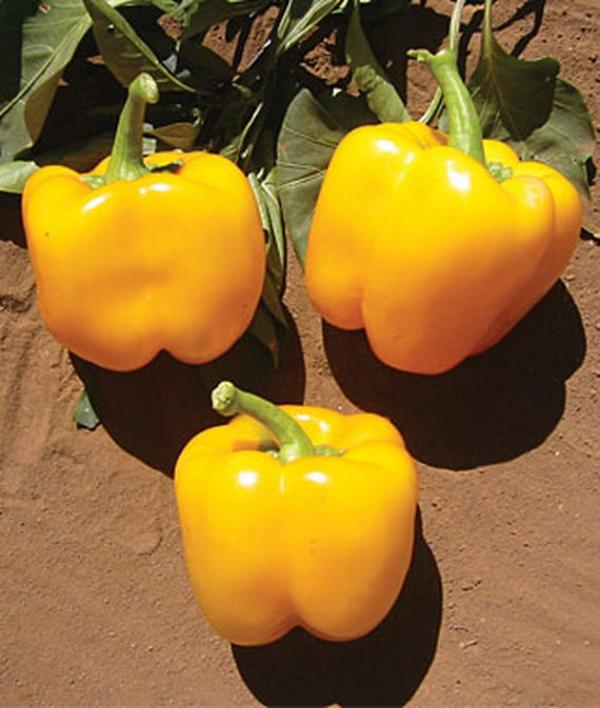Pepper Sweet Golden California Wonder