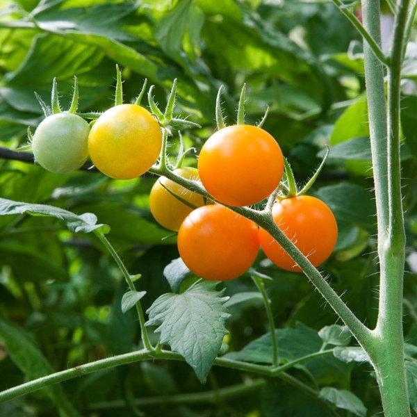 Tomato Sun Sugar Cherry