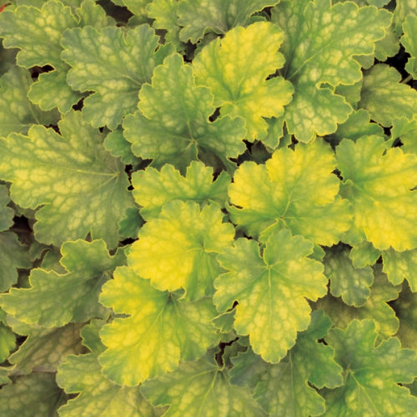Key Lime Pie Coral Bells Heuchera hybrid