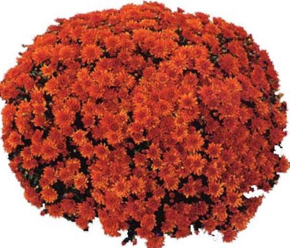 Conaco Orange Belgian Mum®
